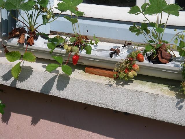 kayak marin cultiver des fraises dans son jardin. Black Bedroom Furniture Sets. Home Design Ideas