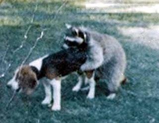 mapache perro