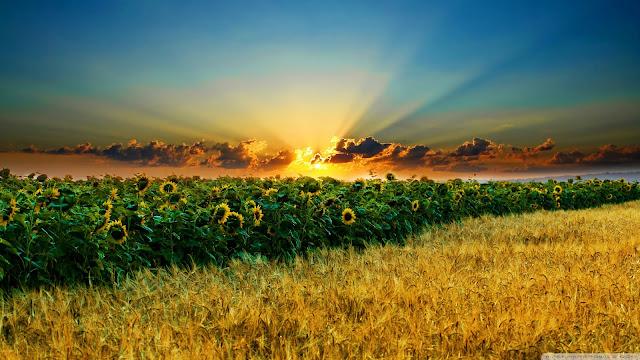 Best Jungle Life sunflowers, wallpaper, summer