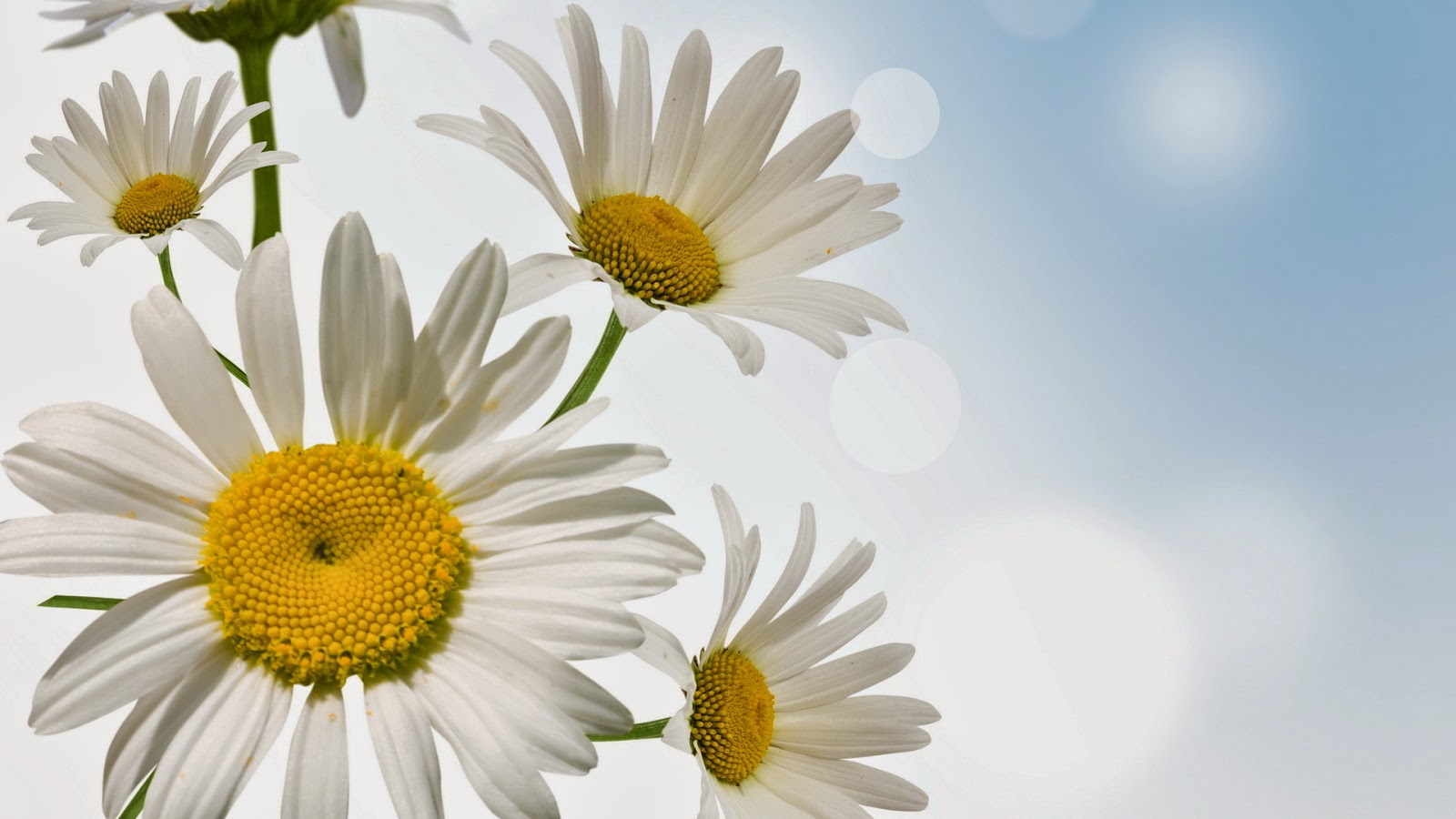 HD-Daisy-flower-facebook-cover-photo-album-gallery.jpg