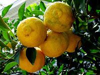 Yuzu Fruit Pictures