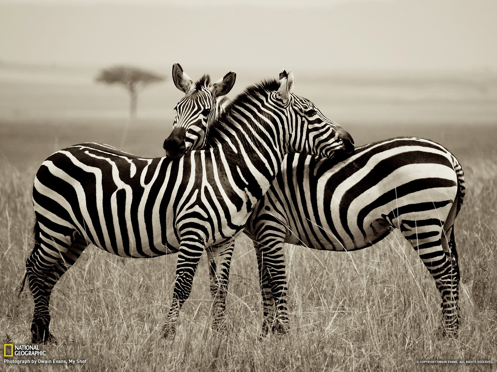 zebra wallpaper free computer beautiful desktop. Black Bedroom Furniture Sets. Home Design Ideas