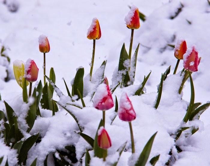 hình ảnh hoa tulip hồng