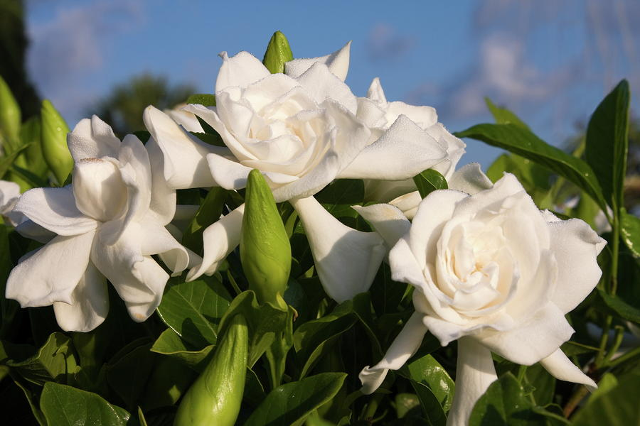flowers for flower lovers. gardenia flowers., Beautiful flower