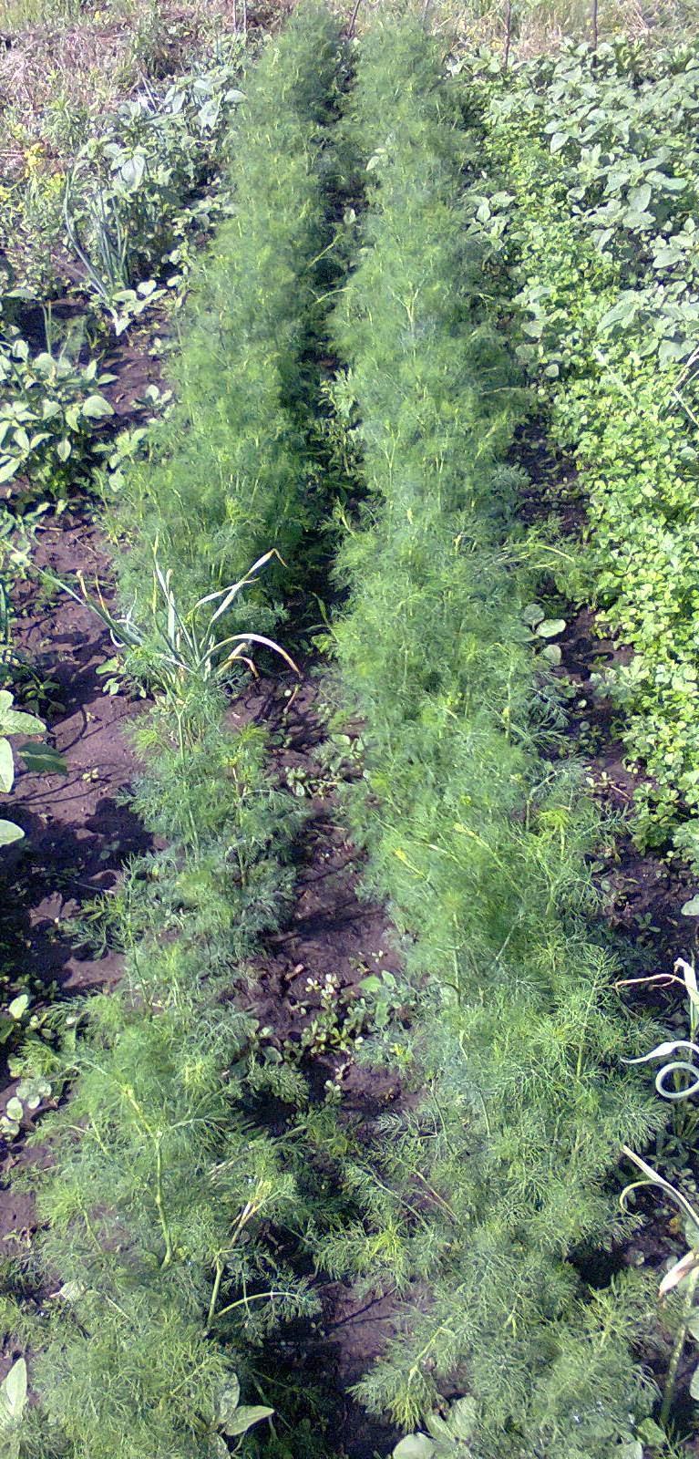 Капуста белокочанная выращивание подкормка 48