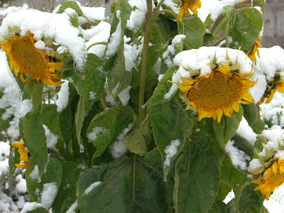 Подсолнухи в снегу