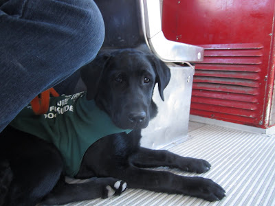 4 month old black lab puppy Romero is in a down position under the seat in a streetcar. The picture is taken from down low at his level, and he is looking into the camera with his serious working face on. He is wearing his green future dog guide jacket and an orange leash. There is one single seat in front of him, and then a red barrier blocking the driver's seat. There was a similar picture taken of Romero several months ago on a city bus, and at the time he was a tiny puppy resting between my boots. Now he takes up nearly all of my footspace, and his head reaches nearly to my knee!