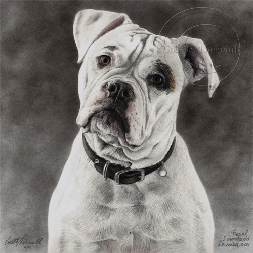 American Bulldog Pencil Portrait in Graphite by Colette Theriault