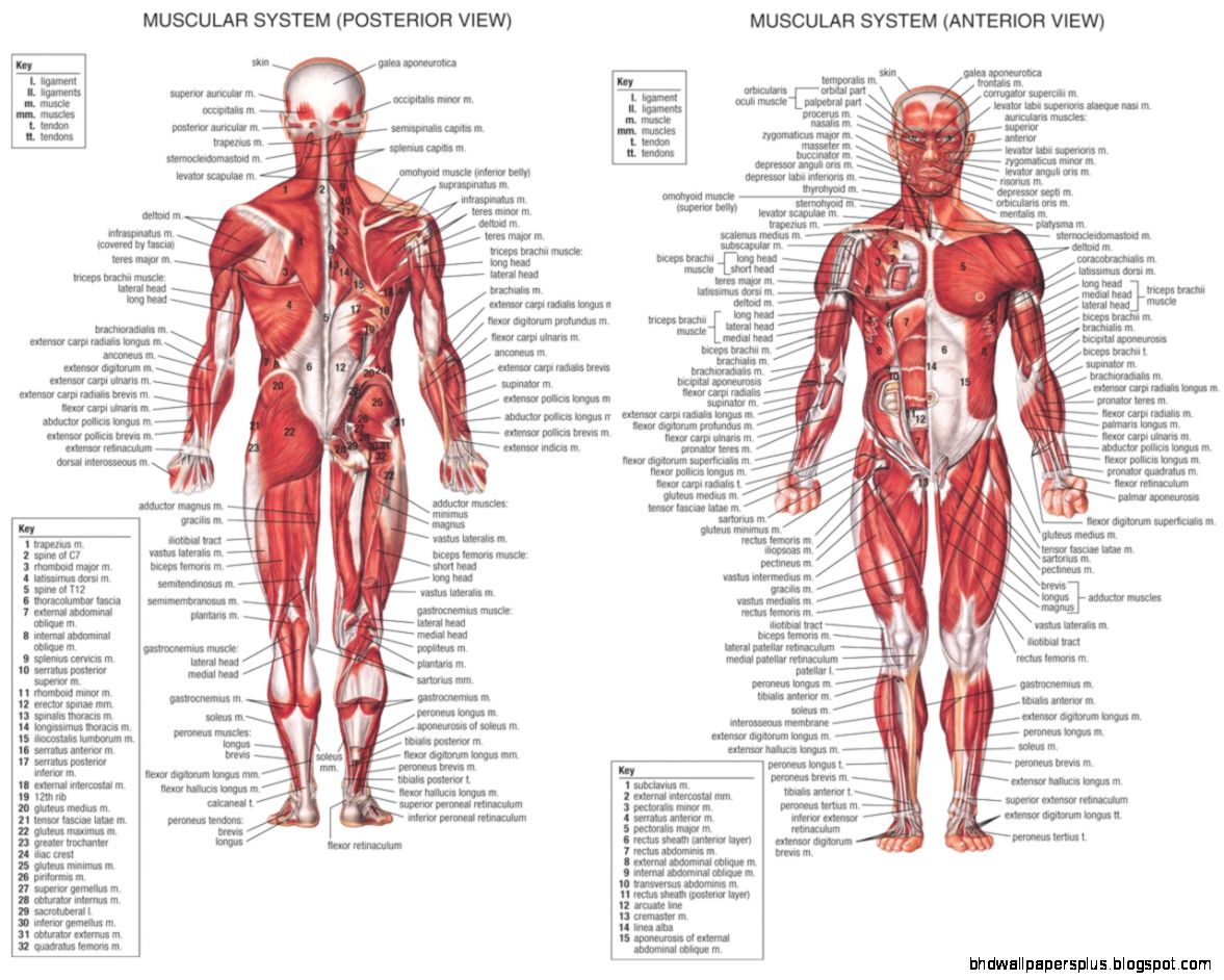 anatomy  Easy In Learning the Human Anatomy Muscle   Anatomy of