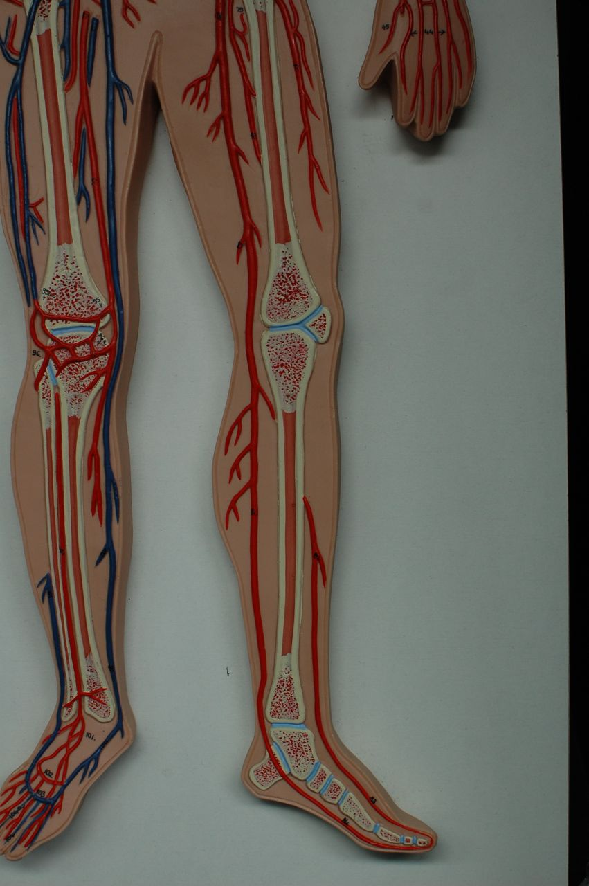 Arteries and veins anatomy