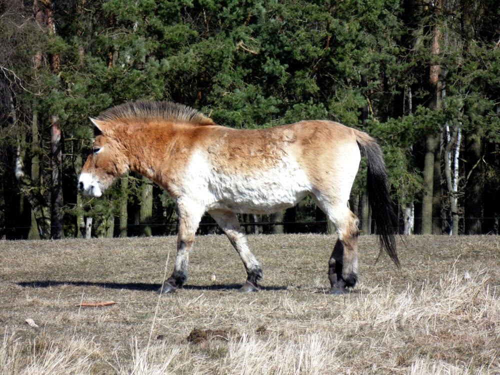 photos of wild horses in Wildpark Schorfheide, Groß Schönebeck, Brandenburg, Germany by Andie Gilmour