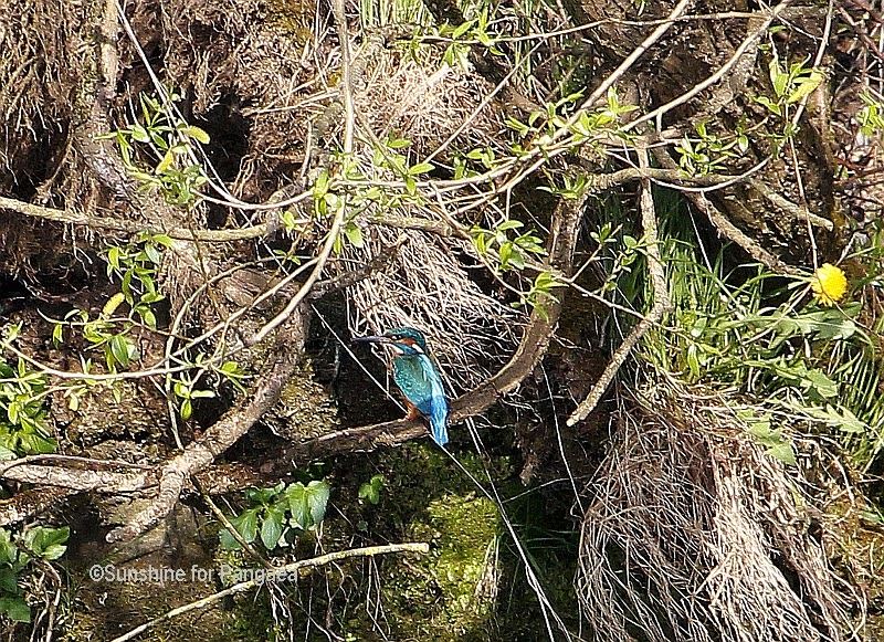 Common Kingfisher in southern Germany