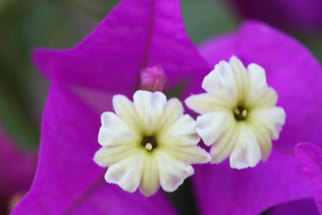 Violet Bougainvillea flowers closeup