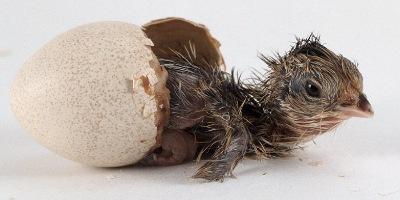 Kylling, der lige er klækket fra æg