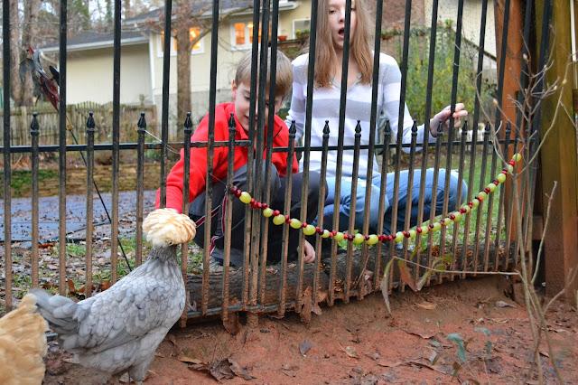 backyard chickens, chicken treats, http://growingdays.blogspot.com