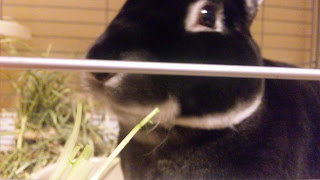 水菜を食べるうさぎ、ミニレッキスのモモタス