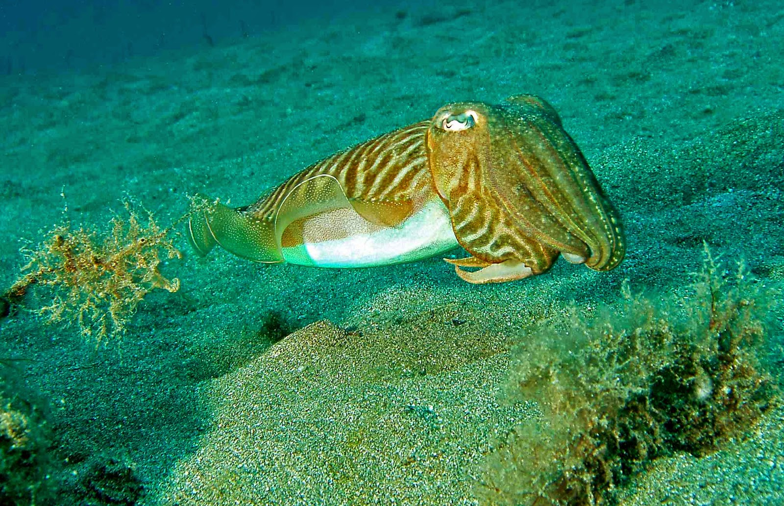 Cuttlefish fishing from shore with rod ocean bounty for Urine smells like fish after eating fish