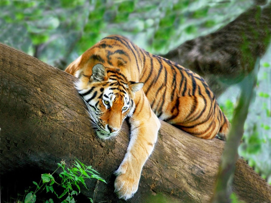 Wild Tiger Hd WallPapers Free Download