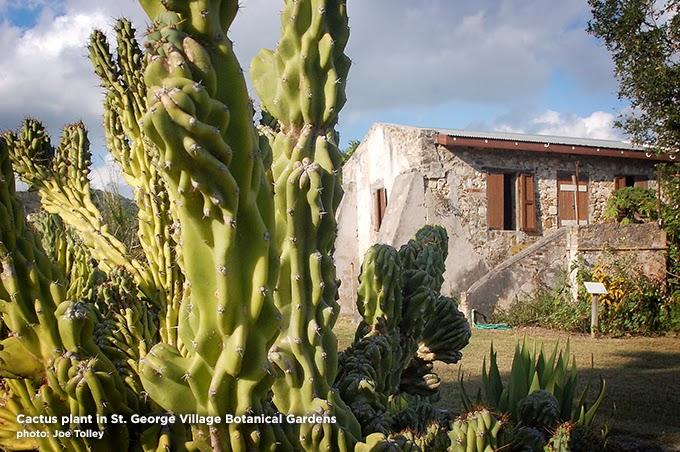 Cactus in St. George Village Botanical Gardens St. Croix. Copyright Joe Tolley 2014 / TravelBoldly.com