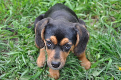 beagle mix puppy