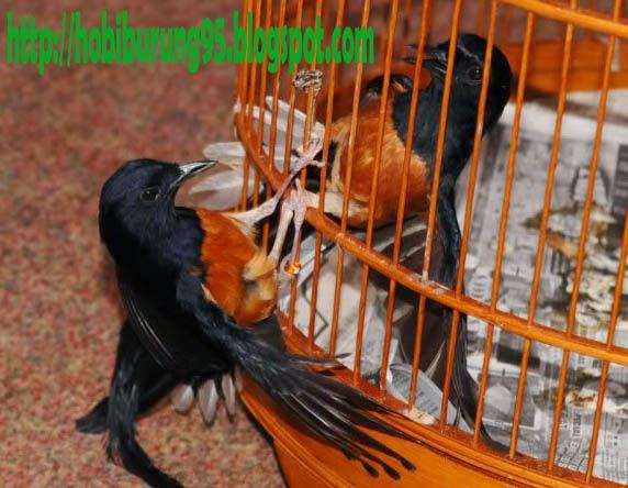 Perawatan Harian Burung Murai Batu