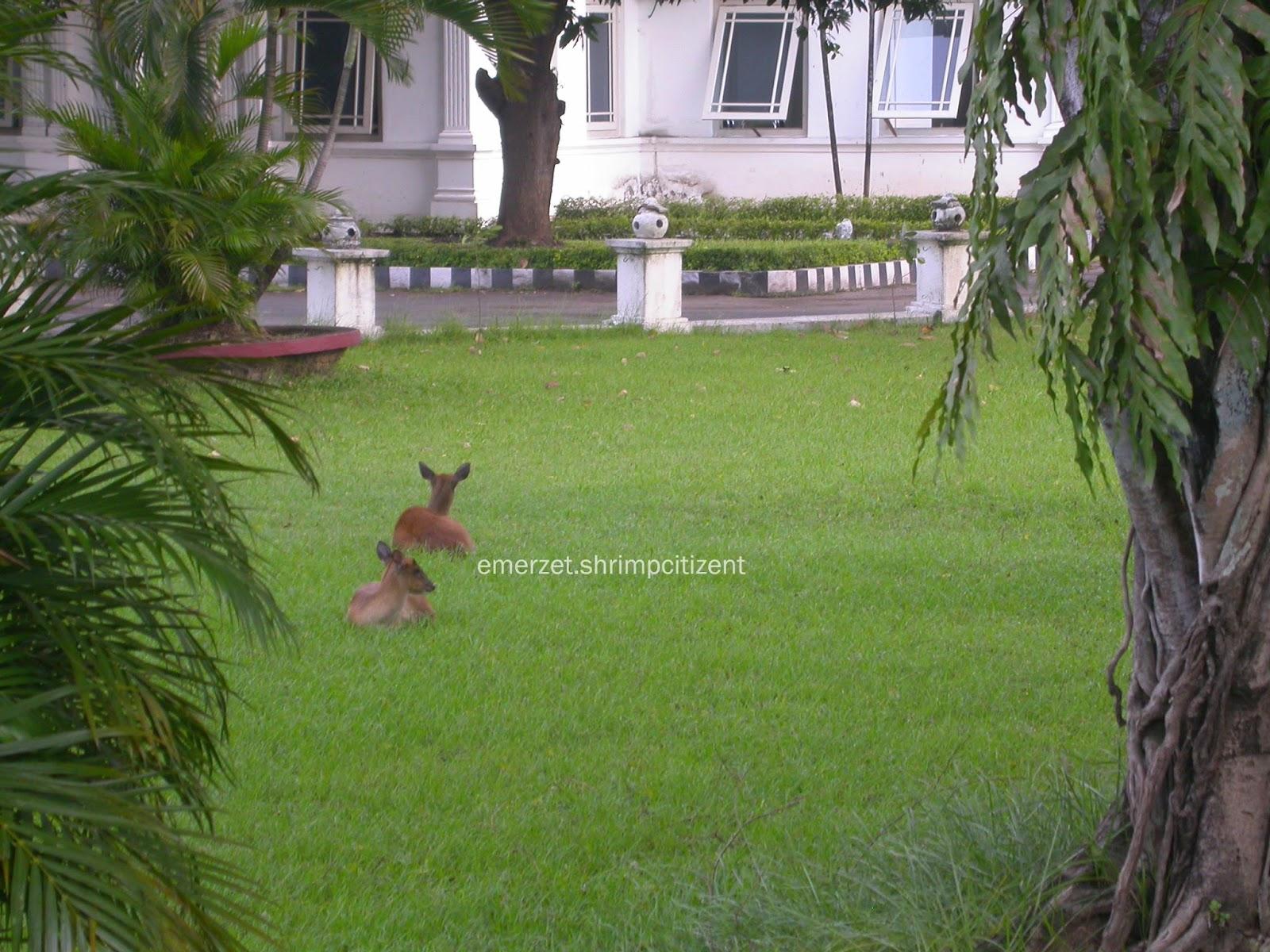 Kota Cirebon, Halaman Pendopo Bupati Cirebon - terlihat dua ekor dari beberapa ekor rusa di halaman Pendopo