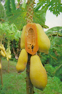 Pohon Buah Pepaya
