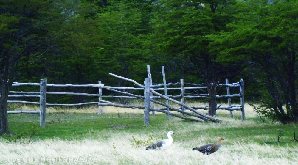 Cauquénes, ave