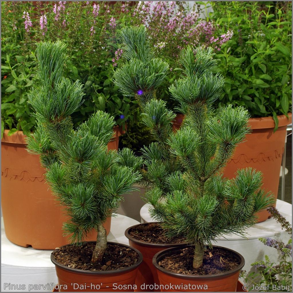 Pinus parviflora 'Dai-ho' - Sosna drobnokwiatowa 'Dai-ho'