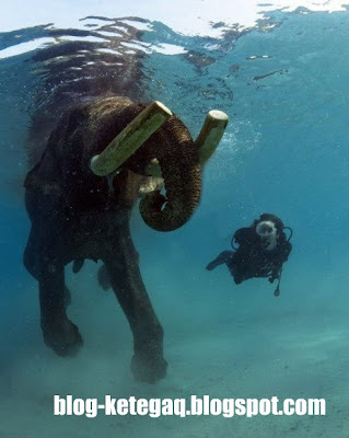 berenang bersama gajah