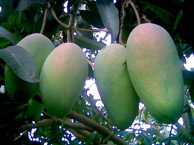 mangga gadung merupakan jenis mangga yang paling banyak dibudidayakan ...