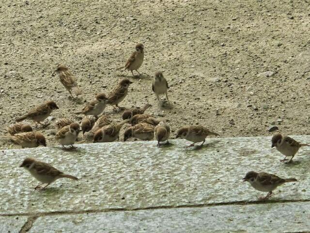 ざっと100匹余のスズメが近くによってきた