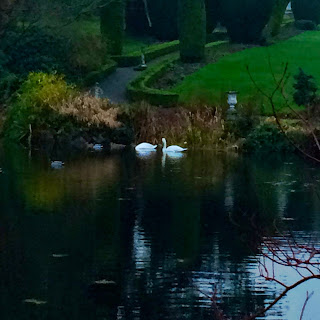 Swans in Altamont Gardens County Carlow