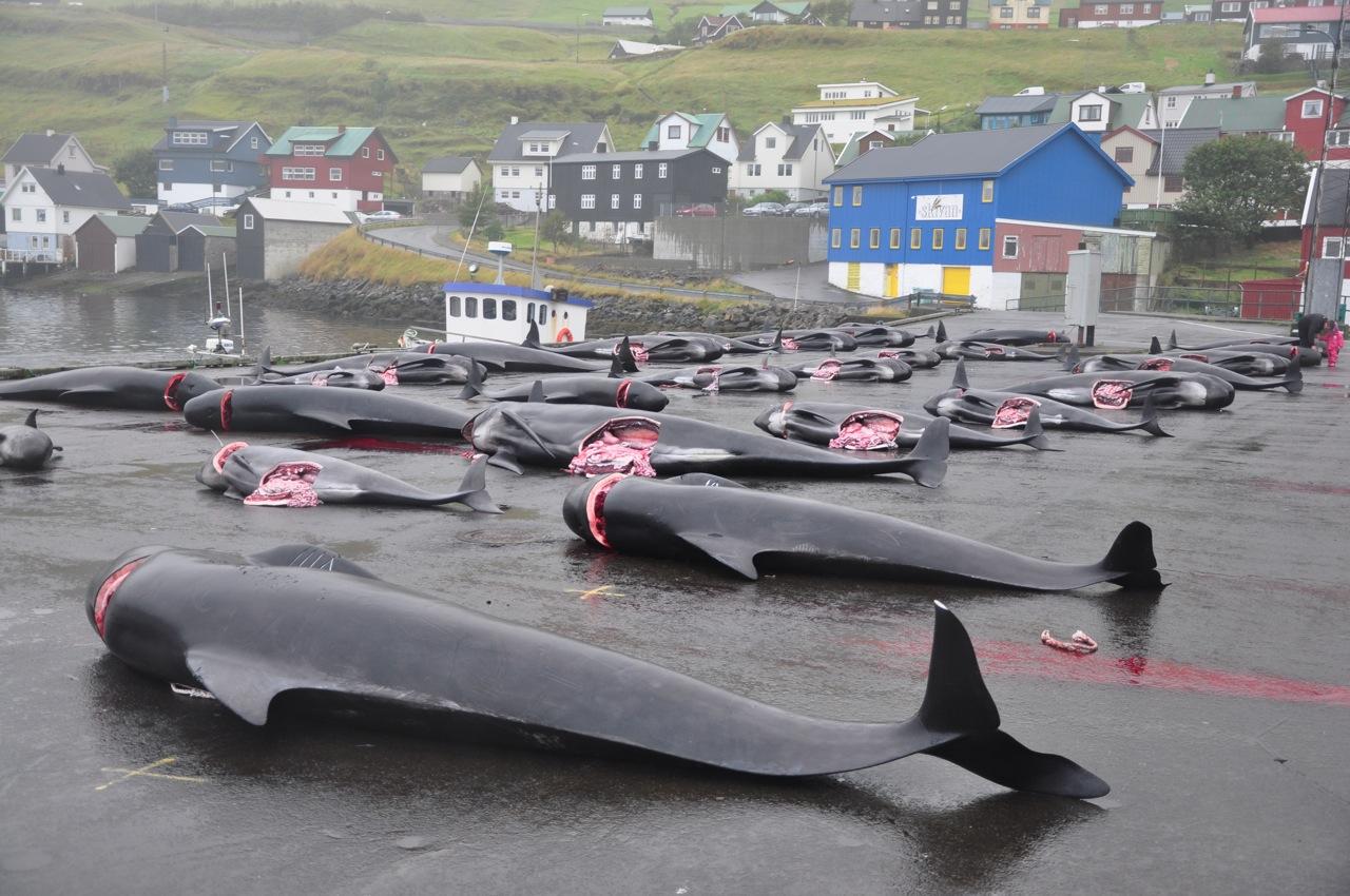 færøerne hvalfangst