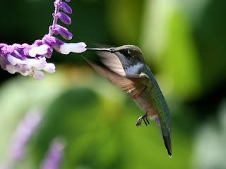 الطائر الوحيد الذي يطير للخلف؟