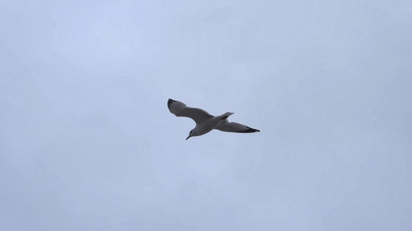 Seagull Flying Medium
