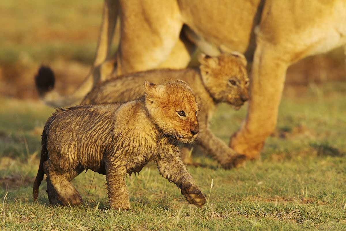 Beautiful Animals Safaris: Lion Cubs and Young Male Lions ...
