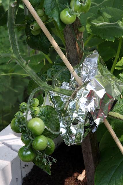 alumiinifoliosta taivuteltu tomaatin suojakauluri