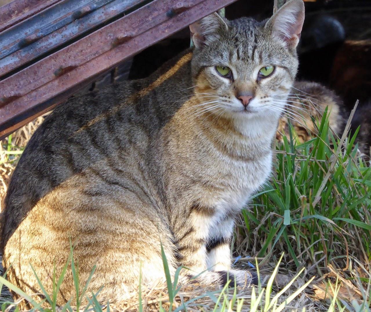 Dusty brown silver feral tabby cat
