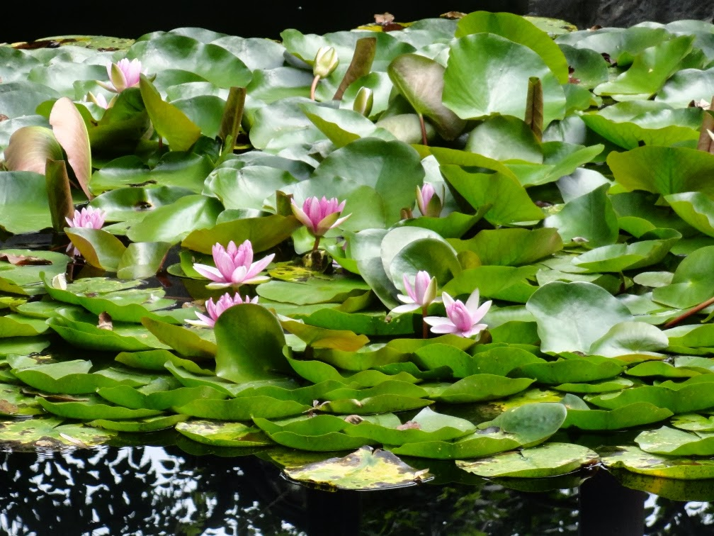 Lingering Garden Suzhou water lilies by garden muses-Toronto gardening blog