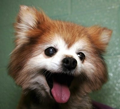 an adorable cute baby red panda with a giant smile on its face