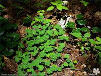 Oxalis acetosella - Szczawik zajęczy