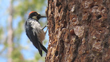 Acorn Woodpecker