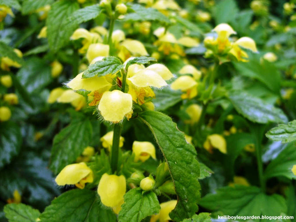 Kellis Northern Ireland Garden Bita Landscaping And Yellow Archangel