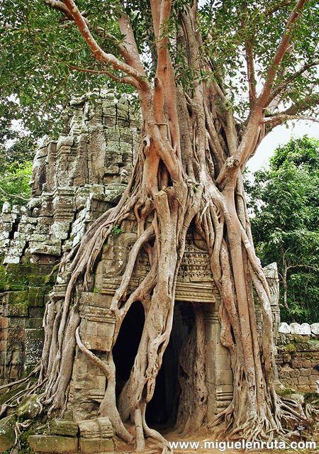 Higuera-Ta-Som-Angkor