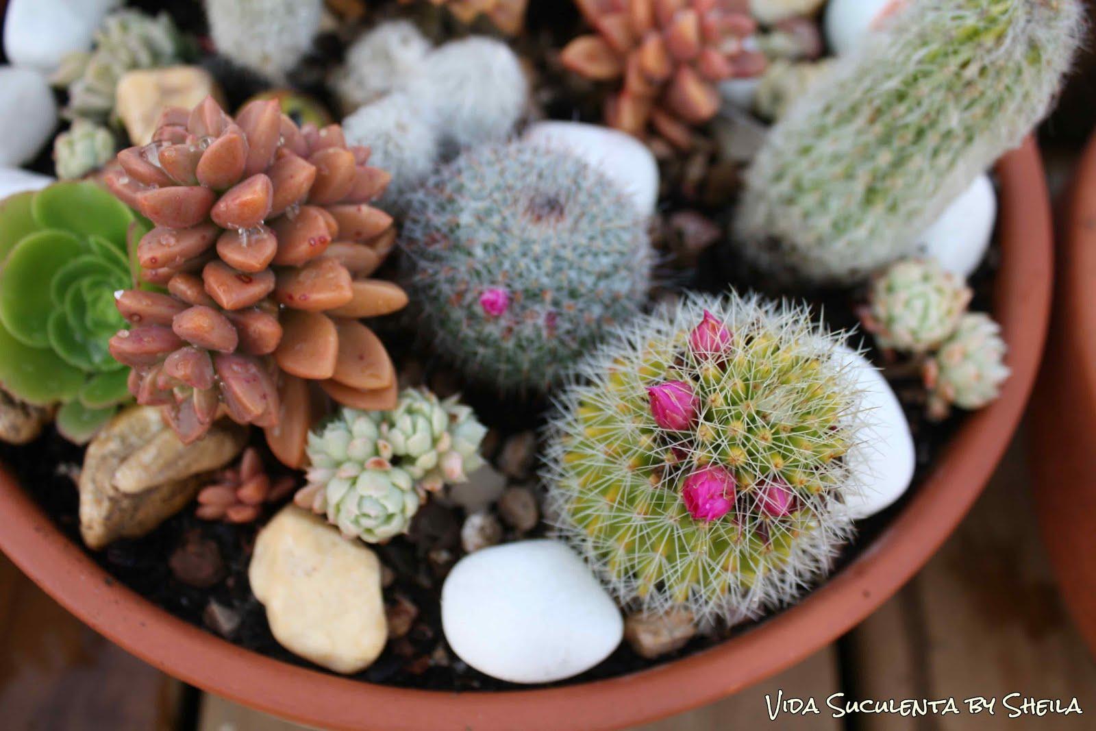 Vida suculenta 13 dicas essenciais para cultivar cactos e for Como plantar cactus