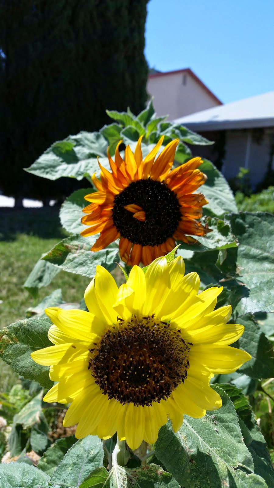 Summer SunFlowers 2014