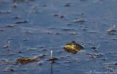 Grenouille rieuse (Pelophylax ridibundus), Marsh Frog