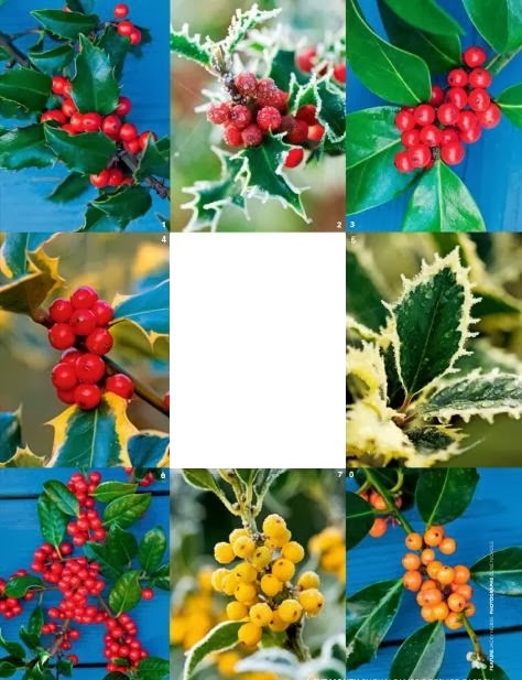 Garden tips on top favorite holly berrie for Christmas decorating