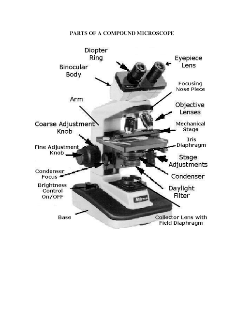 Anatomy And Physiology I Coursework  Microscope A P